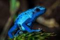Картинка природа, лягушка, синяя, макро