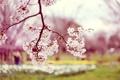 Картинка цветы, природа, фото, дерево, весна, сакура