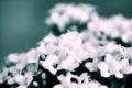 Картинка цветы, букет, размытость, белые