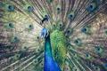Картинка птица, павлин, перья