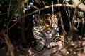 Картинка дикая кошка, ягуар, заросли, морда, тени, отдых, свет