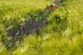 Картинка цветы, природа, колосья
