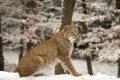 Картинка зима, кошка, снег, рысь