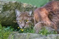 Картинка кошка, трава, взгляд, камни, рысь, ©Tambako The Jaguar