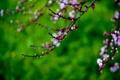 Картинка капли, цветы, сакура, ветвь