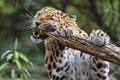 Картинка кошка, леопард, бревно, амурский, ©Tambako The Jaguar