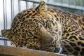 Картинка кошка, взгляд, морда, леопард, ©Tambako The Jaguar