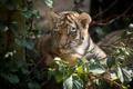 Картинка кошка, листья, тигр, детёныш, котёнок, амурский