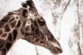 Картинка макро, природа, жираф, animal, Giraffe