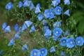 Картинка цветы, голубой, стебли, лён