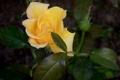 Картинка листья, бутон, жёлтая роза