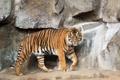 Картинка кошка, тигр, камни, суматранский