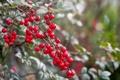 Картинка лес, макро, ягоды, куст, ветка