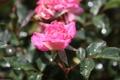 Картинка цветок, лето, вода, капли, природа, роза, лепестки
