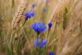 Картинка пшеница, лето, цветы, синие, васельки
