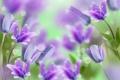 Картинка цветы, колокольчики, flowers, bells