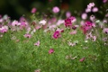 Картинка зелень, поле, лето, цветы, космея