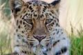 Картинка усы, взгляд, морда, леопард, обои 4х3