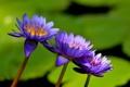 Картинка цветы, озеро, водяные лилии