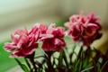 Картинка цветок, цветы, розовый, Макро, букет, цветение