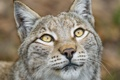 Картинка кошка, взгляд, морда, рысь, ©Tambako The Jaguar