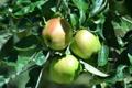 Картинка ветки, дерево, листва, плоды