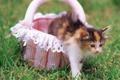 Картинка кошка, трава, кот, цветы, котенок, корзина, киска