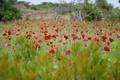Картинка поле, цветы, маки