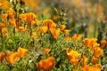 Картинка цветы, оранжевые, много, эшшольция