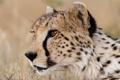 Картинка кошка, взгляд, морда, гепард, профиль
