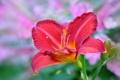 Картинка цветок, лилия, красная, цветение