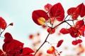 Картинка листья, ветка, красные