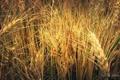 Картинка пшеница, макро, рожь, Растение