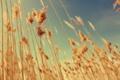 Картинка поле, небо, сухая трава, сухие стебли