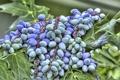 Картинка виноград, листочки, кисточки