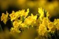 Картинка листья, весна, бутоны, природа, нарциссы, желтые, цветы