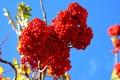 Картинка ягоды, ветка, размытость, плоды, красные, кисть, рябина