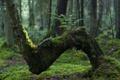 Картинка лес, мох, пень, папортник