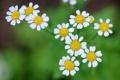 Картинка зелень, цветы, природа, ромашки