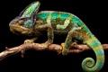 Картинка природа, фон, хамелеон