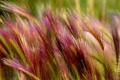 Картинка трава, Макро, колоски, ковыль
