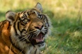 Картинка кошка, взгляд, морда, тигр, клыки