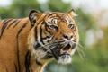 Картинка кошка, взгляд, морда, тигр, суматранский