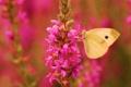 Картинка розовый, цветок, крылья, бабочка, фокус