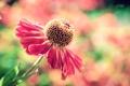 Картинка цветок, макро, цветы, гербера, цветность, puxa
