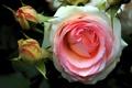 Картинка роза, бутоны, макро