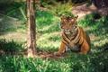 Картинка тигр, полосы, дерево, окрас, травка