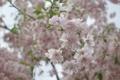 Картинка макро, цветы, нежность, ветка, весна, размытость, сакура