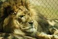 Картинка фон, лев, зоопарк