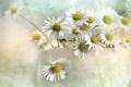 Картинка текстура, ромашки, цветы